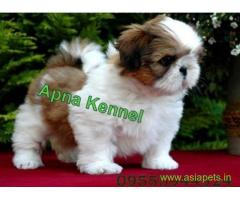Shih tzu puppies  for sale in Faridabad on Best Price Asiapets