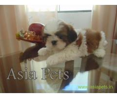 Shih tzu puppies  for sale in Gurgaon on Best Price Asiapets