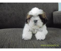 Shih tzu puppies  for sale in Ghaziabad on Best Price Asiapets