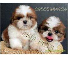 Shih tzu puppies  for sale in Ranchi on Best Price Asiapets