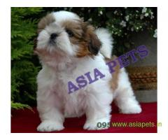 Shih tzu puppies  for sale in Nagpur on Best Price Asiapets
