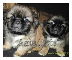 Lhasa apso puppies for sale in Pune