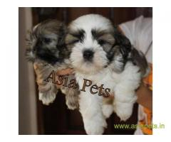Lhasa apso puppies for sale in Vijayawada, on best price asiapets