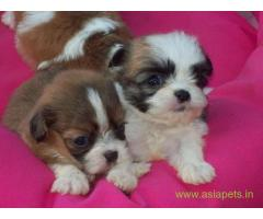 Lhasa apso puppies for sale in Thiruvananthapuram, on best price asiapets