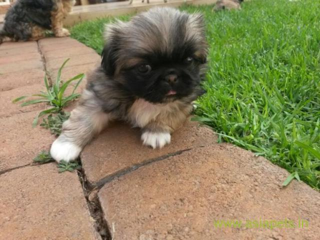 Pekingese puppies  for sale in Delhi on Best Price Asiapets