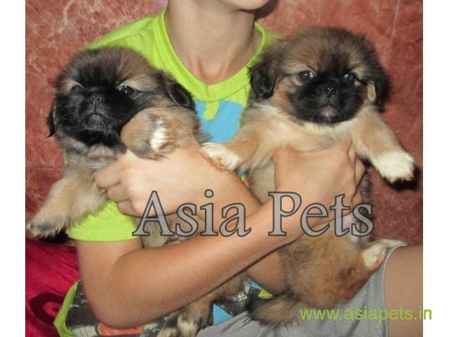 Pekingese puppies  for sale in Kolkata on Best Price Asiapets