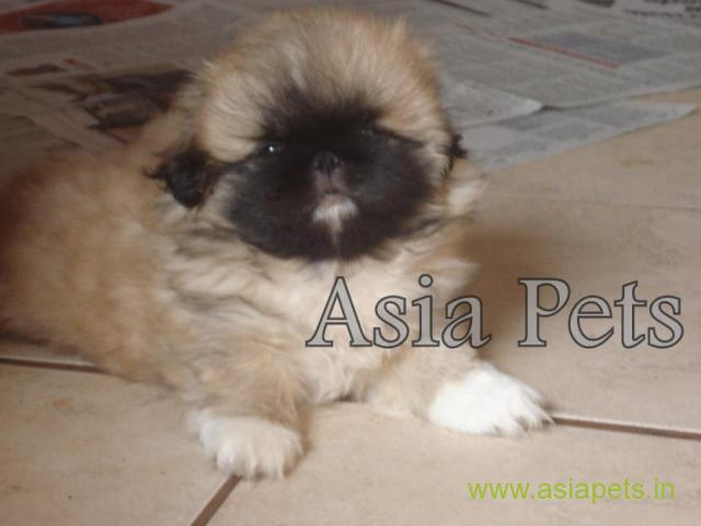 Pekingese puppies  for sale in patna on Best Price Asiapets