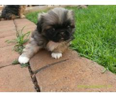 Pekingese puppies  for sale in rajkot on Best Price Asiapets