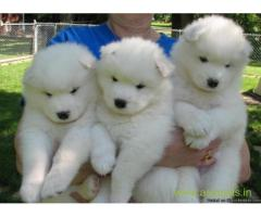 Samoyed puppies  for sale in Delhi on Best Price Asiapets