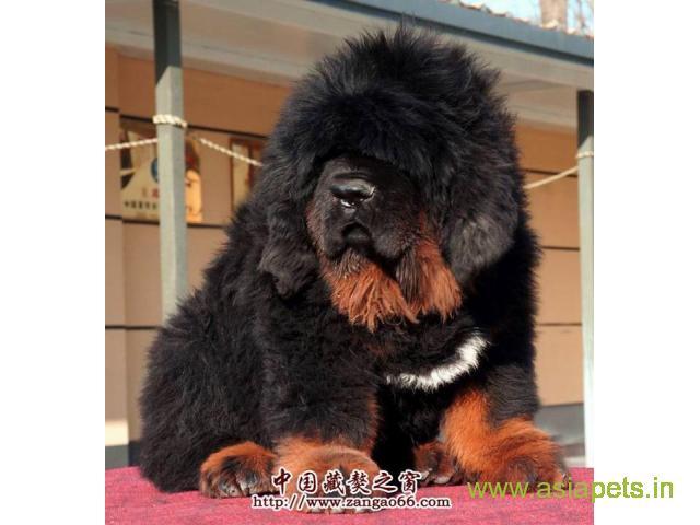 Tibetan mastiff puppies for sale in Agra on Best Price Asiapets