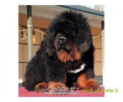 Tibetan mastiff puppies for sale in Agra on Best Price Asiapets