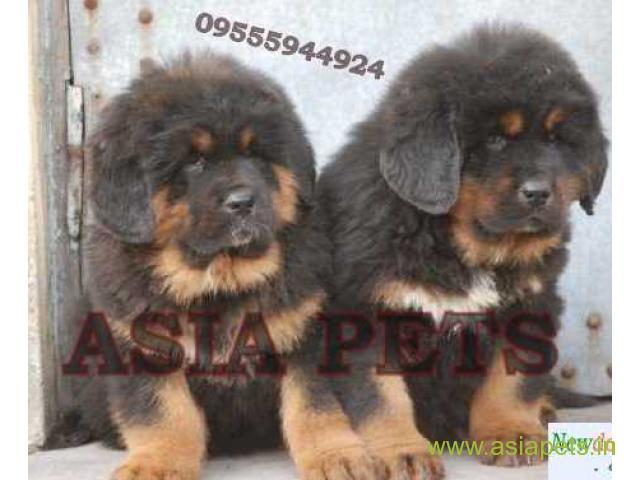 Tibetan mastiff puppies for sale in Bhubaneswar on Best Price Asiapets