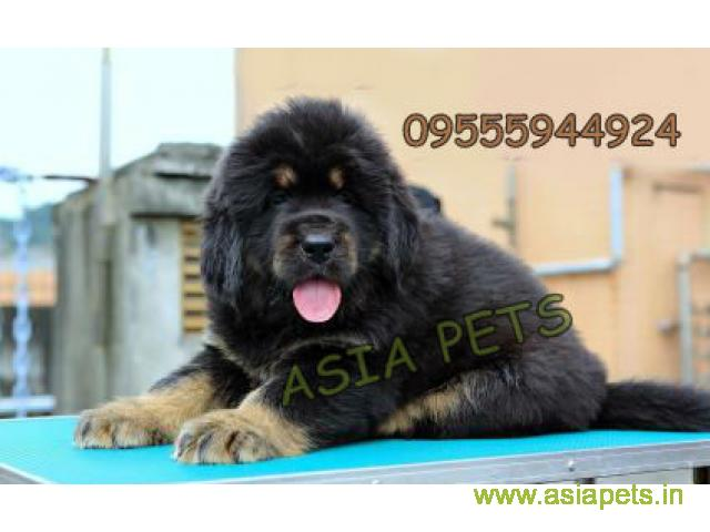 Tibetan mastiff puppies for sale in Delhi on Best Price Asiapets