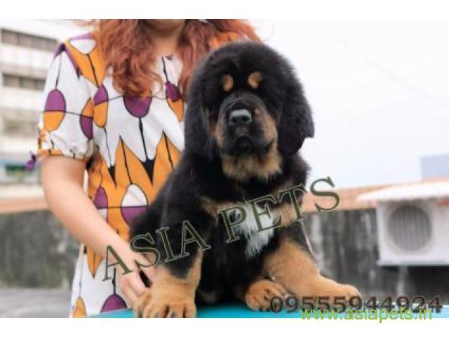Tibetan mastiff puppies for sale in Faridabad on Best Price Asiapets