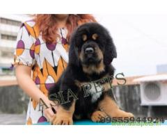 Tibetan mastiff puppies for sale in Faridabad on Best Price Asiapets