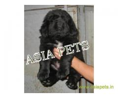 Tibetan mastiff puppies for sale in Kanpur on Best Price Asiapets