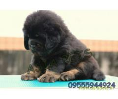 Tibetan mastiff puppies for sale in  vizag on Best Price Asiapets