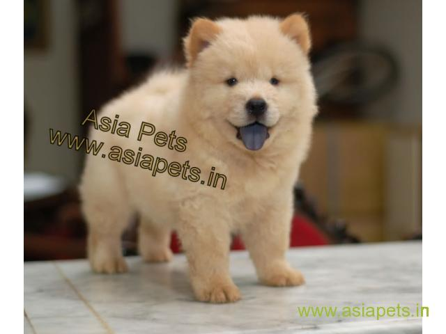 Chow Chow puppies for sale in Secunderabad on best price asiapets