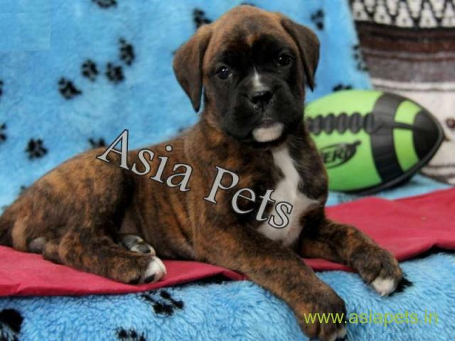 Boxer puppies for sale in Chandigarh on best price asiapets