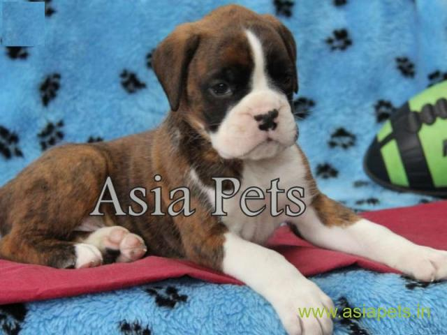 Boxer puppies for sale in Faridabad on best price asiapets