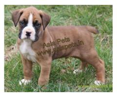 Boxer puppies for sale in Gurgaon on best price asiapets