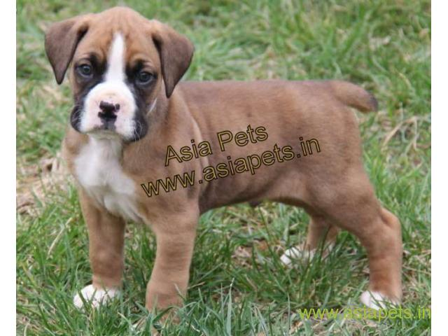 Boxer puppies for sale in Mysore on best price asiapets