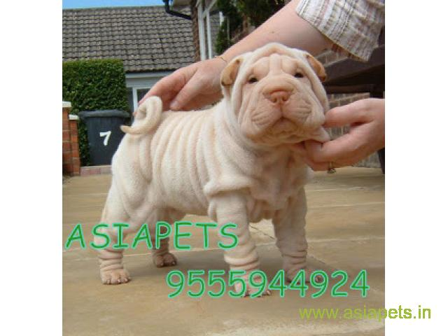 tea cup Shar pei puppies for sale in Mysore on best price asiapets