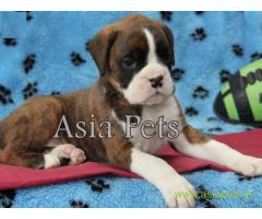 Boxer puppies for sale in Thiruvananthapuram on best price asiapets