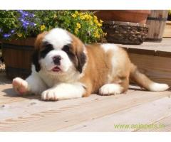 saint bernard puppies for sale in Delhi on best price asiapets