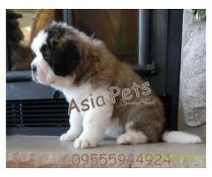 saint bernard puppies for sale in Lucknow on best price asiapets