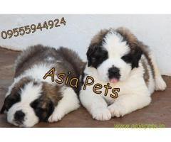saint bernard puppies for sale in Noida on best price asiapets