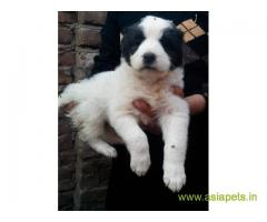 Alabai puppies for sale in Kolkata on best price asiapets