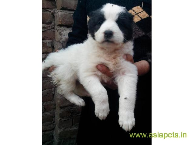 Alabai puppies for sale in Mysore on best price asiapets
