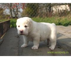 Alabai puppies for sale in Nashik on best price asiapets
