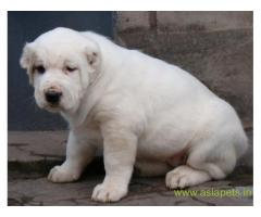 Alabai puppies for sale in Noida on best price asiapets