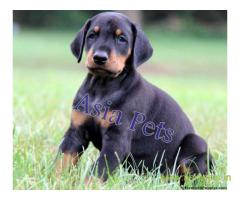 doberman puppies for sale in Ghaziabad on best price asiapets