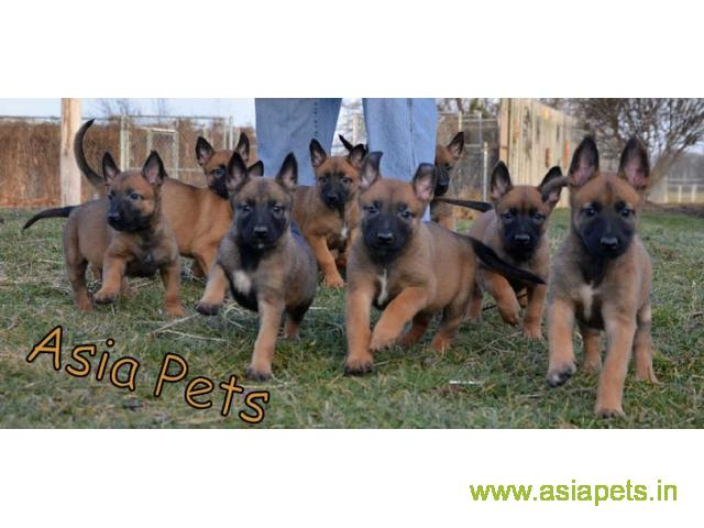 Belgian malinois puppies for sale in Hyderabad on best price