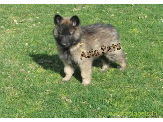 Belgian malinois puppies for sale in Surat on best price asiapets
