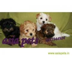 Havanese puppies for sale in Chandigarh on best price asiapets