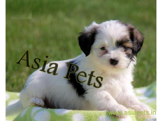Havanese puppies for sale in Delhi on best price asiapets