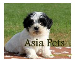 Havanese puppies for sale in Faridabad on best price asiapets
