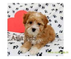 Havanese puppies for sale in Hyderabad on best price asiapets