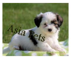 Havanese puppies for sale in Kolkata on best price asiapets