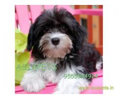 Havanese puppies for sale in Patna on best price asiapets