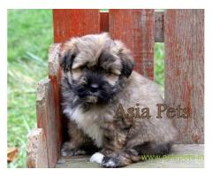 Havanese puppies for sale in Thiruvananthapuram on best price asiapets