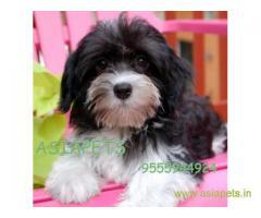 Havanese puppies for sale in Vijayawada on best price asiapets