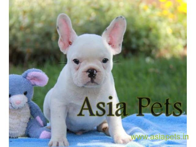 French bulldog pups for sale in Faridabad on French bulldog Breeders