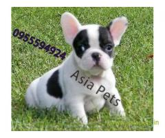 French bulldog pups for sale in Noida on French bulldog Breeders