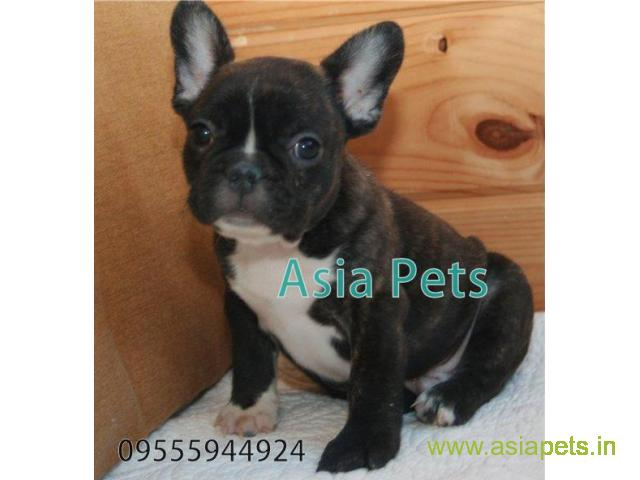 French bulldog pups for sale in Secunderabad on French bulldog Breeders
