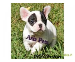 French bulldog pups for sale in Patna on French bulldog Breeders
